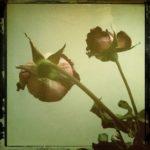 Adriano Mauri, Rose secche