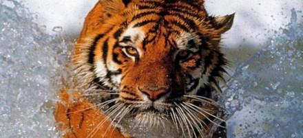_tigre_010.jpg