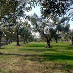 Les fameux oliviers des Pouilles