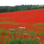 papaveri-campi-fioriti-Worcestershire-foto-03-2.jpg