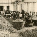 Trieuses de roses à Grasse © Musée national de l'histoire et des cultures de l'immigration